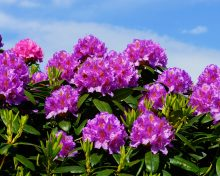 Chamber welcomes Rhododendron project and New Looped Walks